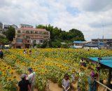 大賀の郷3万本のひまわりフェスタに行ってきました!